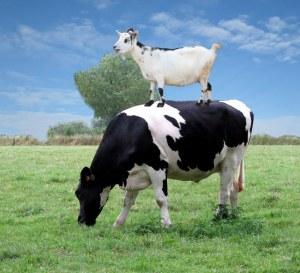 Oblivious Cow